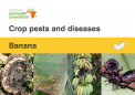 Banana crop pests and diseases