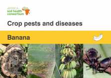 Banana crop pests and diseases