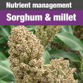 555 sorghum:millet guide