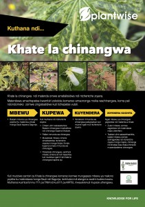 How to manage cassava mosaic CHICHEWA