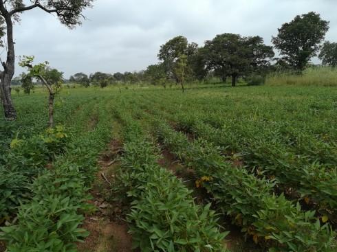 Soybean field in NIgeria