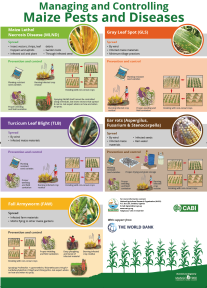 Managing maize pests and disease